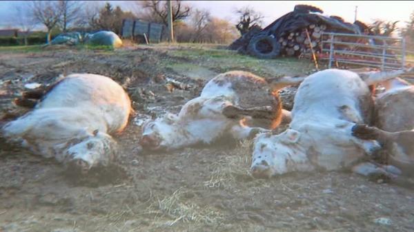 """Mort de 25 vaches en Isère, """"un crime"""" selon l'agriculteur"""
