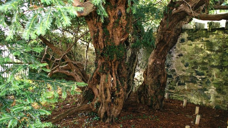 Berries show ancient Fortingall yew tree is 'changing sex' - BBC News