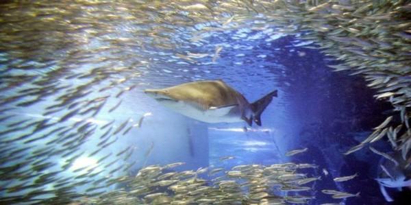 La Réunion renforce la pêche ciblée de requins et envisage leur commercialisation