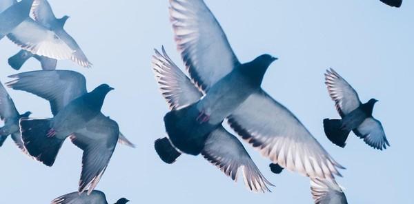 Des milliers de pigeons portés disparus après une course