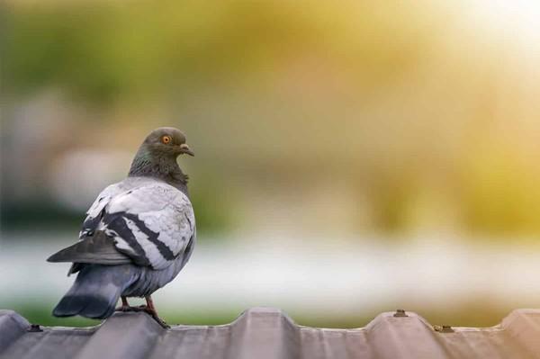 """Régulation du pigeon en ville: """"le tir reste la meilleure option"""" - Chassons.com"""
