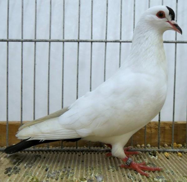 Thuringian Spot Colour Pigeons ( Thüringer Schnippe )
