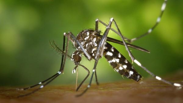 Moustique tigre : un rapport pointe un risque sanitaire majeur