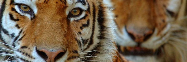 Le tigre, en danger | WWF