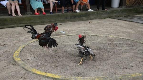 Tips Jitu Agar Bisa Menang Bermain Sabung Ayam | Game Online