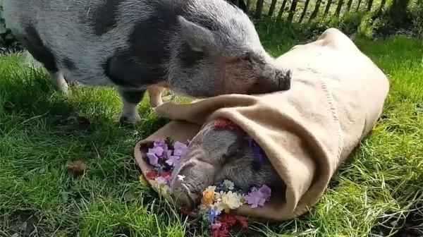 Déchirant: un cochon dit adieu à son compagnon avec qui il a passé toute sa vie (vidéo)
