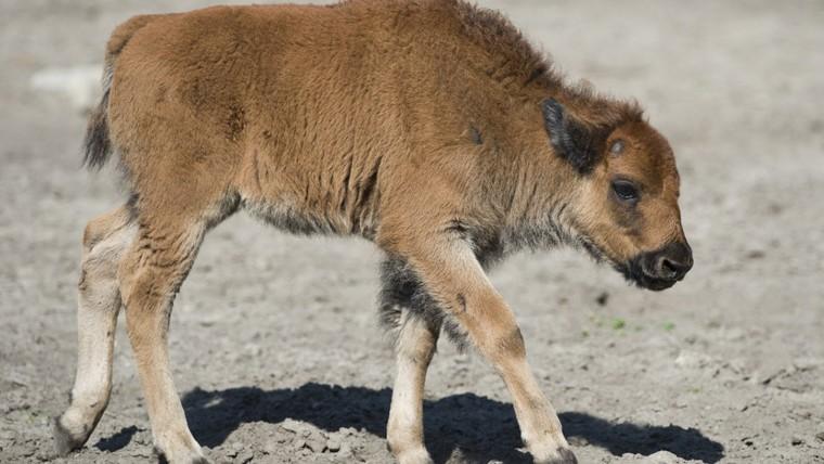 Etats-Unis: un bébé bison euthanasié après son transport par des touristes