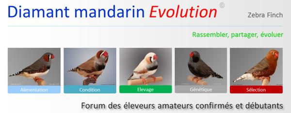 Diamant mandarin Evolution