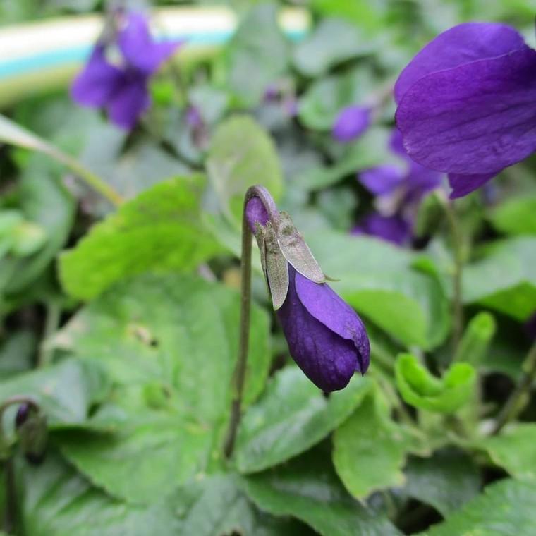 """Jardin Des Cocagnous on Instagram: """"La Violette odorante ou Viola Odorata pousse dans les haies, les sous-bois et dans les prés. Sa floraison intervient de Février à Mai. Les…"""""""