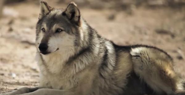 Découvrez comment les loups façonnent les rivières et créent plus de vies qu'ils n'en prennent