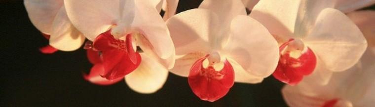 Entretien, soins, fleurissement, rempotage et bouture des orchidées