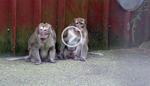 Les 163 singes de la Pinède sont-ils morts pour rien ? - Fondation 30 Millions d'Amis