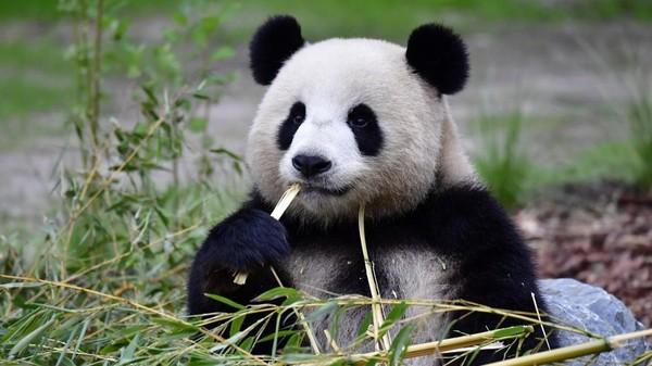 VIDÉO - Catastrophe : 117 espèces mammifères menacées par la perte de leur territoire