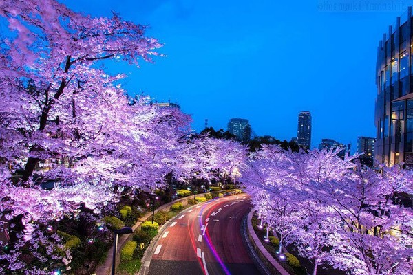 The vivacious and cherry blossom in Japan - NICE PLACE TO VISIT