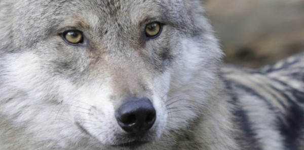 Tuer le loup ? L'Assemblée nationale dit oui