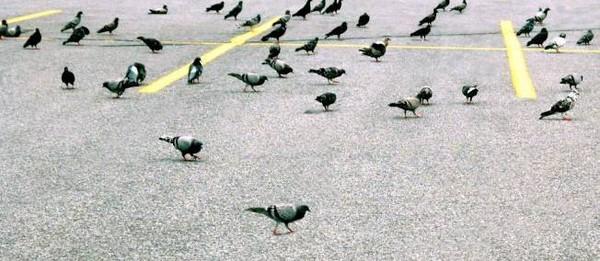 Belgique : il dope un pigeon de compétition à la cocaïne
