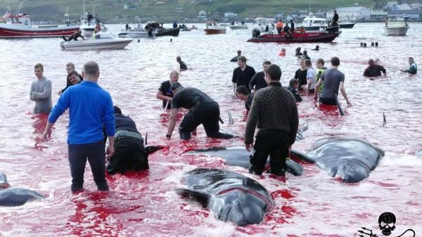 """Massacre de dauphins aux îles Féroé : mais quelle est cette tradition du """"grindadráp"""" ?"""