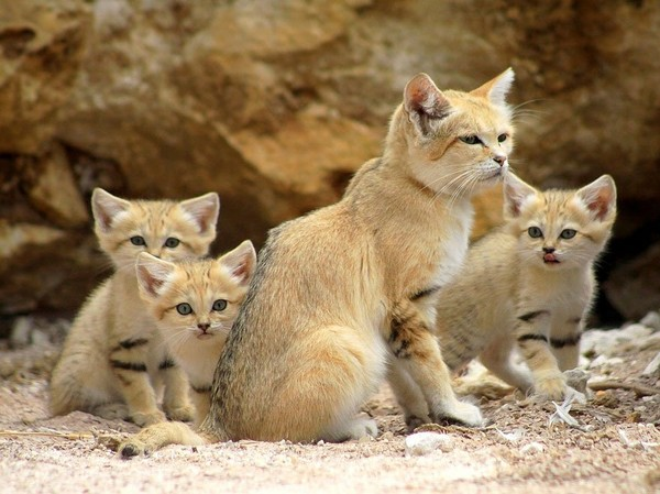 Really distinct can you have a sand cat as a pet - NICE PLACE TO VISIT