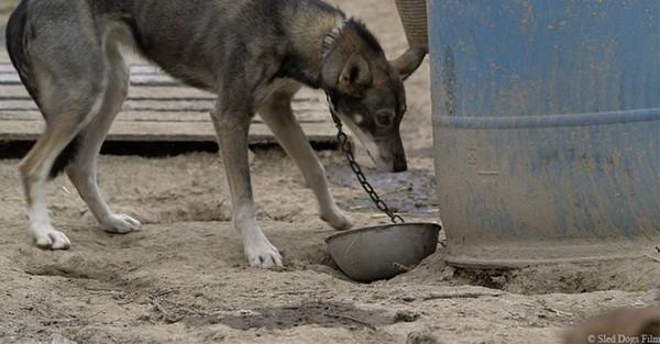 HELP! Urge Jack Daniel's to STOP Sponsoring This Deadly Sled Dog Race
