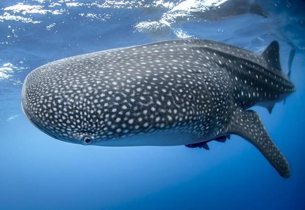 Requin baleine et requin-marteau planeur sur la liste rouge
