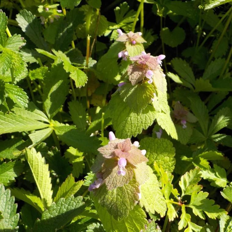"""Jardin Des Cocagnous on Instagram: """"Le Lamier pourpre (Lamium purpureum) Les jeunes feuilles et jeunes pousses peuvent être consommées en salade. (Meilleures avant floraison)…"""""""