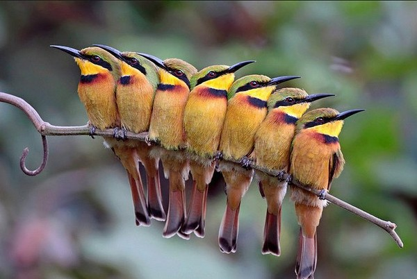 A group of Little Bee-Eaters