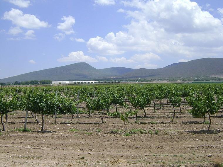 Viticulture au Mexique - LNO
