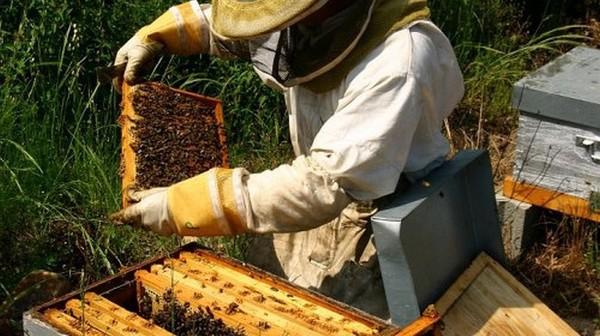 L'effondrement de la production de miel en Corse