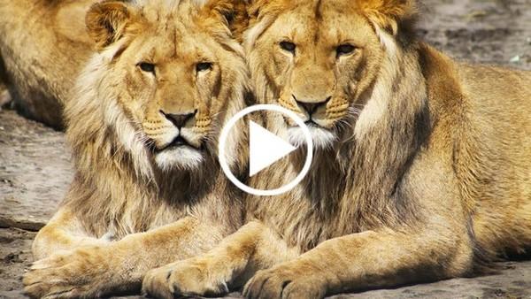 Chasse aux trophées : l'Afrique du Sud veut légaliser l'exportation de carcasses de lions en Asie - Fondation 30 Millions d'Amis