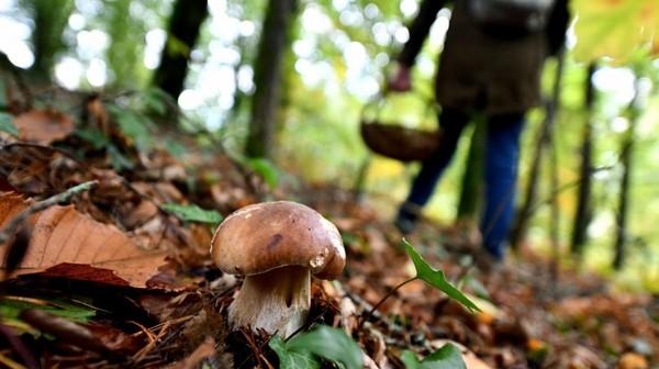 Automne : le retour de la cueillette aux champignons