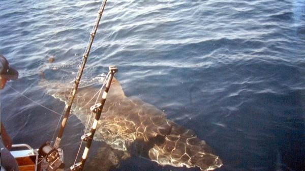 La moitié des requins et raies de Méditerranée menacés d'extinction