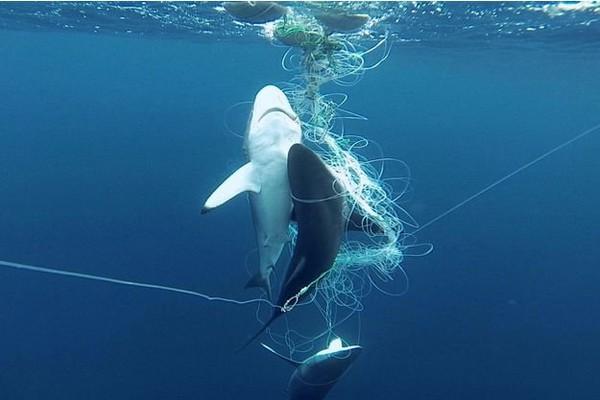 """""""Si on ne sauve pas les requins, on ne sauve pas les océans"""""""