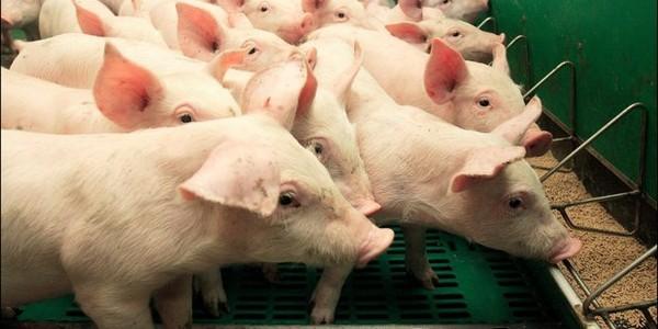 L'abattage des porcs débutera dans les jours à venir ; des snipers de l'armée pour tuer les sangliers?