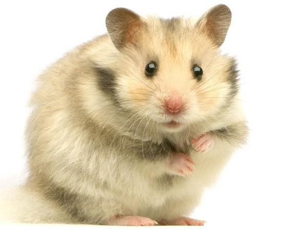 Hamster et rongeurs fan