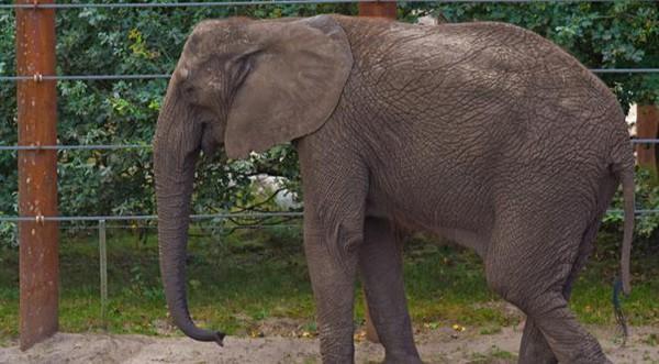Baby et Népal : les éléphantes tuberculeuses devraient être euthanasiées
