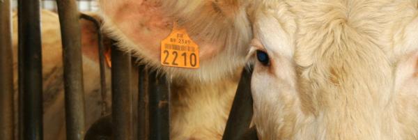 Contre l'abattage sans étourdissement des animaux de ferme - Fondation 30 Millions d'Amis