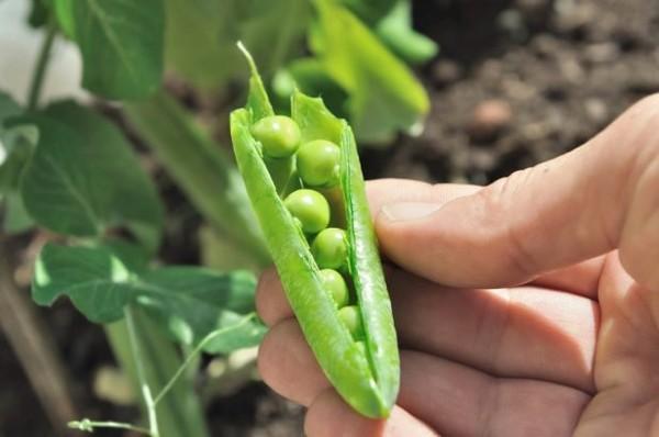 Le calendrier du potager : quels légumes pour quelles saisons ?