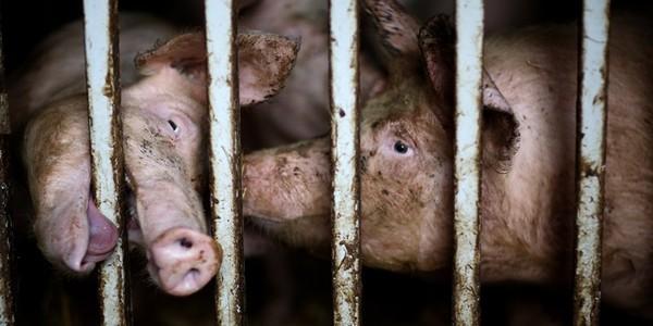 20 000 cochons brûlés vifs. La torture, ça suffit! Signez