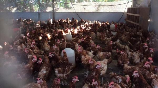 Confirmation d' une infection par salmonelles dans un élevage de poules pondeuses à Mayotte (Préfecture) - mayotte 1ère