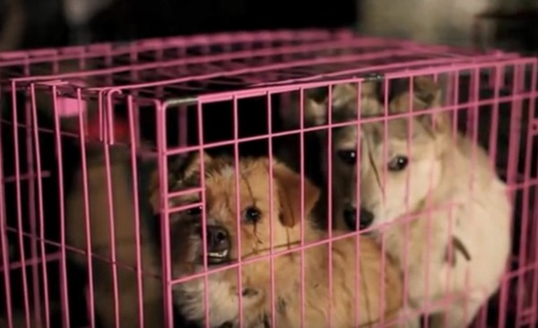 Mr. Chen Wu, YuLin Governor: Please Shut Down the Yulin Dog Meat Festival in GuangXi China
