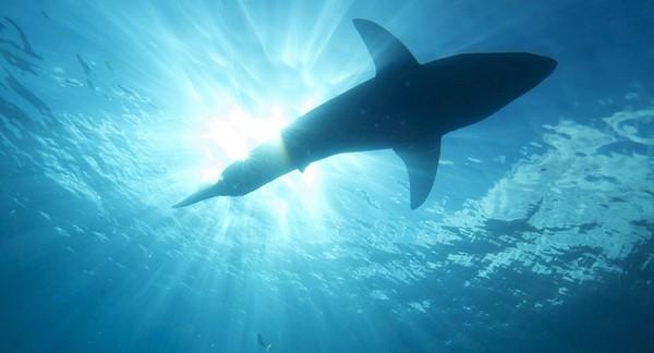 Ce «requin fantôme» a de vraies dents de lapin, mais pourquoi?