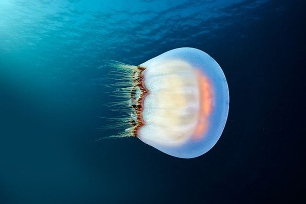 Alexander Semenov's Significant Work on Jelly Fish - NICE PLACE TO VISIT