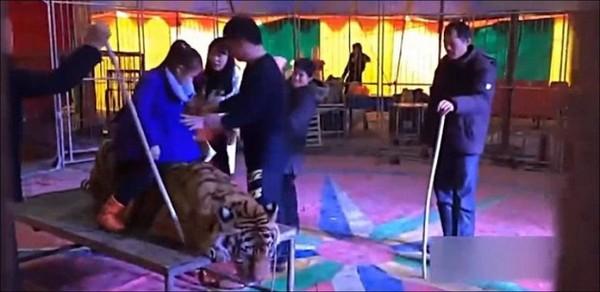 Un tigre de Sibérie attaché et chevauché par le public