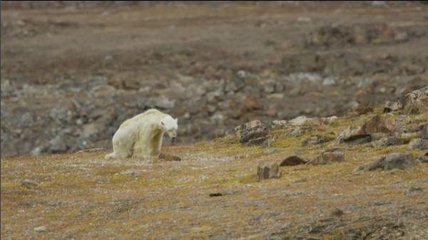 L'agonie d'un ours polaire devient le symbole du réchauffement climatique