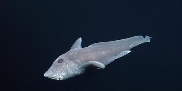 Les premières images d'un requin fantôme dans son milieu naturel