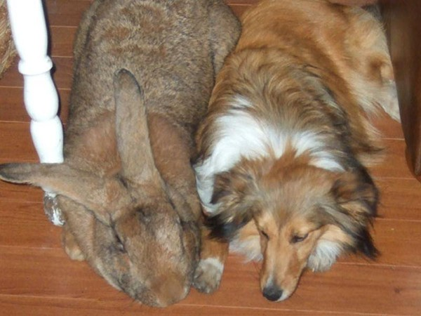 7. A Flanders rabbit bigger than a dog and the Macroptychaster starfish (23.6 inches or 60 cm long)