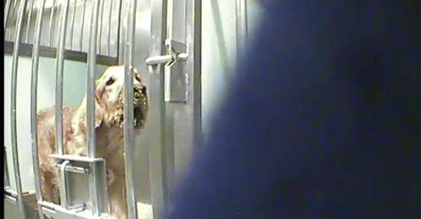 Révélations sur les expériences financées par Téléthon sur des chiens