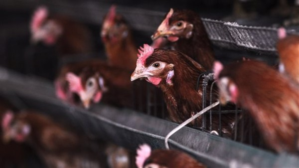 Chine : la menace de la grippe H7N9 inquiète   Radio-Canada.ca