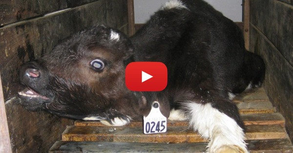 Video: Help end cruelty to calves!