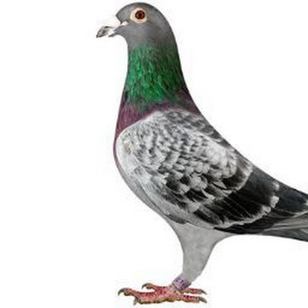 Le pigeon du Nord-Pas-de-Calais